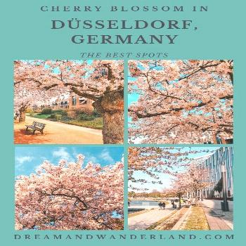 Sakura In Düsseldorf Or Where To Find The Best Spots To See Cherry Blossom - Dream and Wanderland