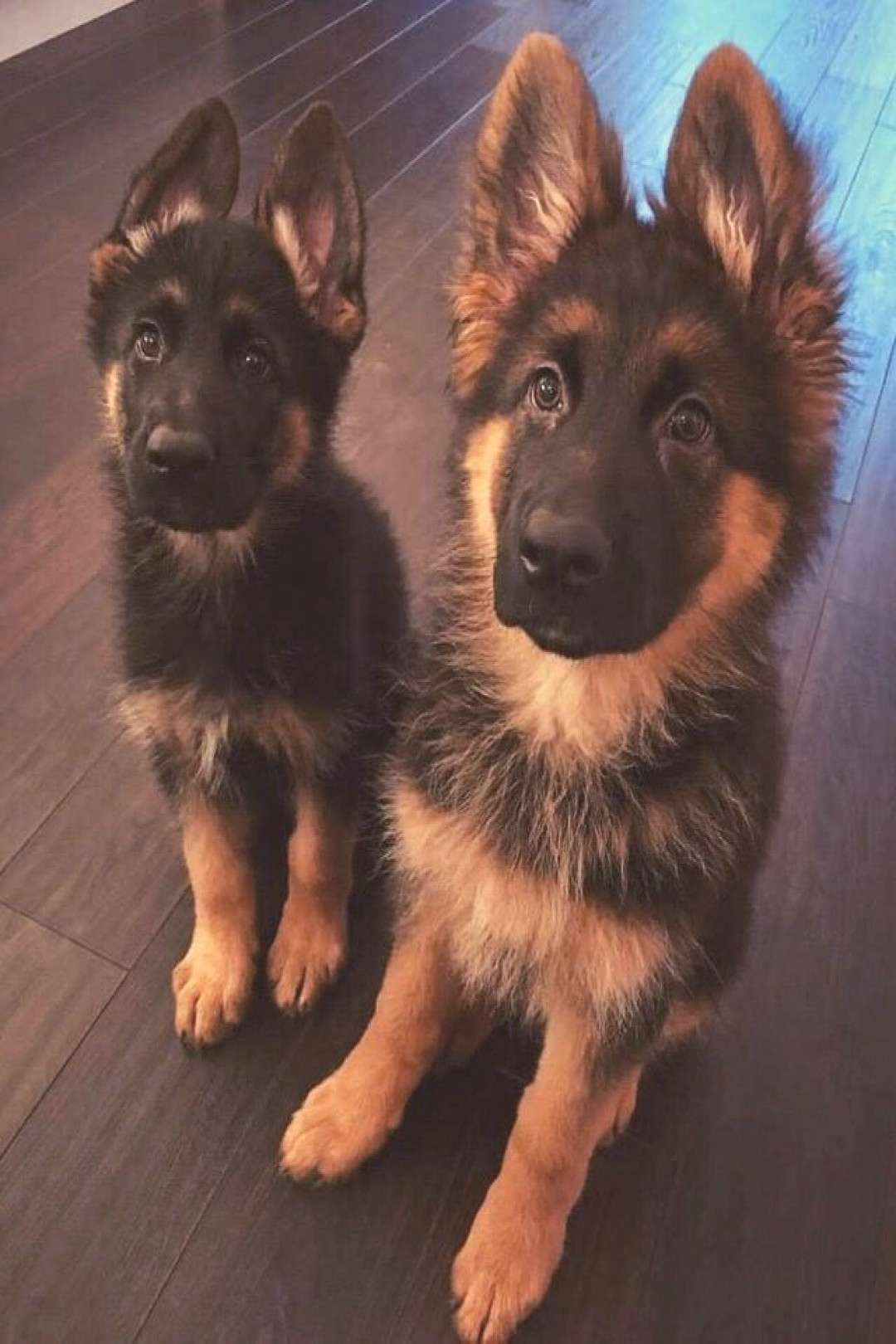 German Shepherds are the BEST companions ~ The trouble with most pets ~ they don't live long enou