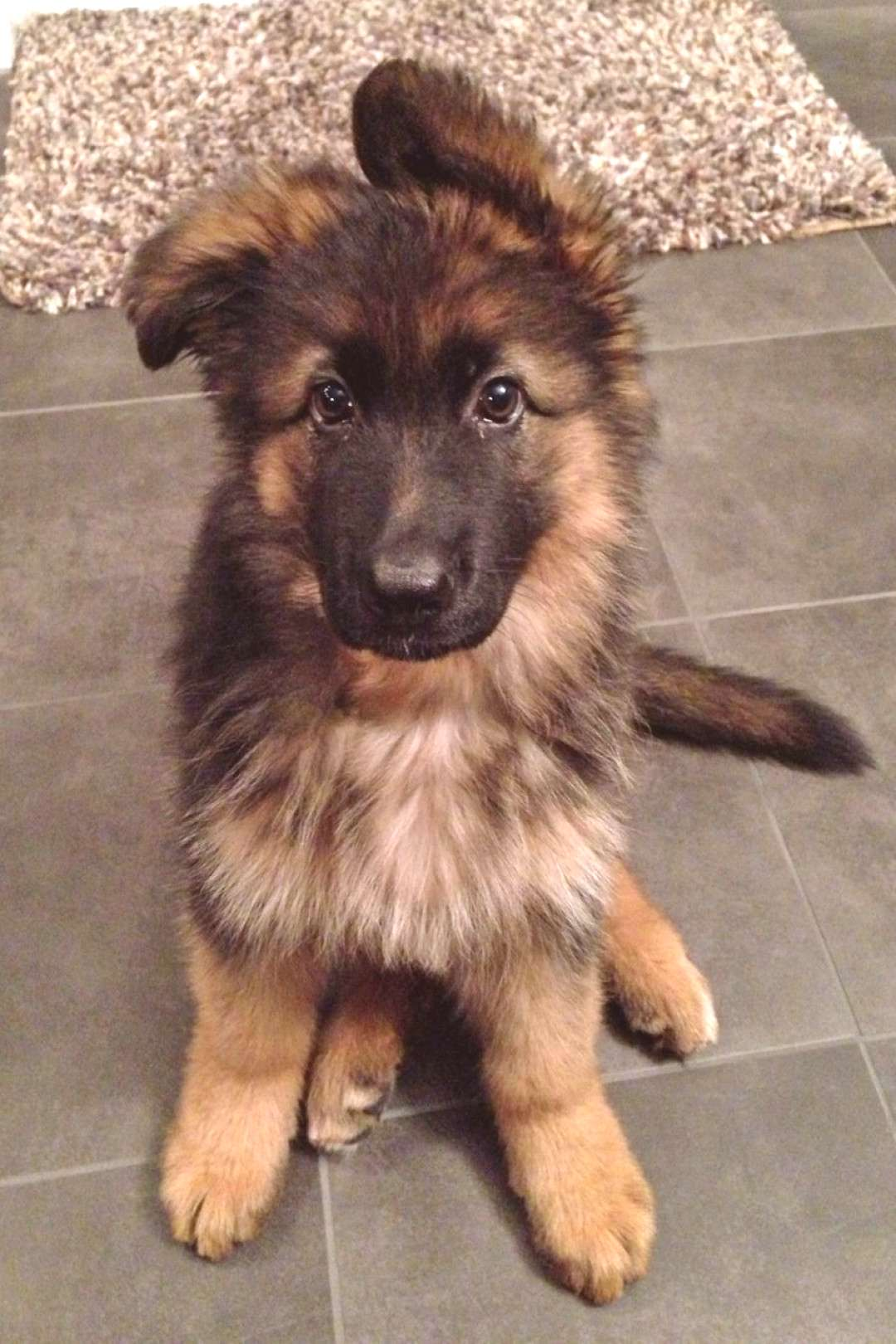 Lexi the German Shepherd reminds me of our Ranger when we got him