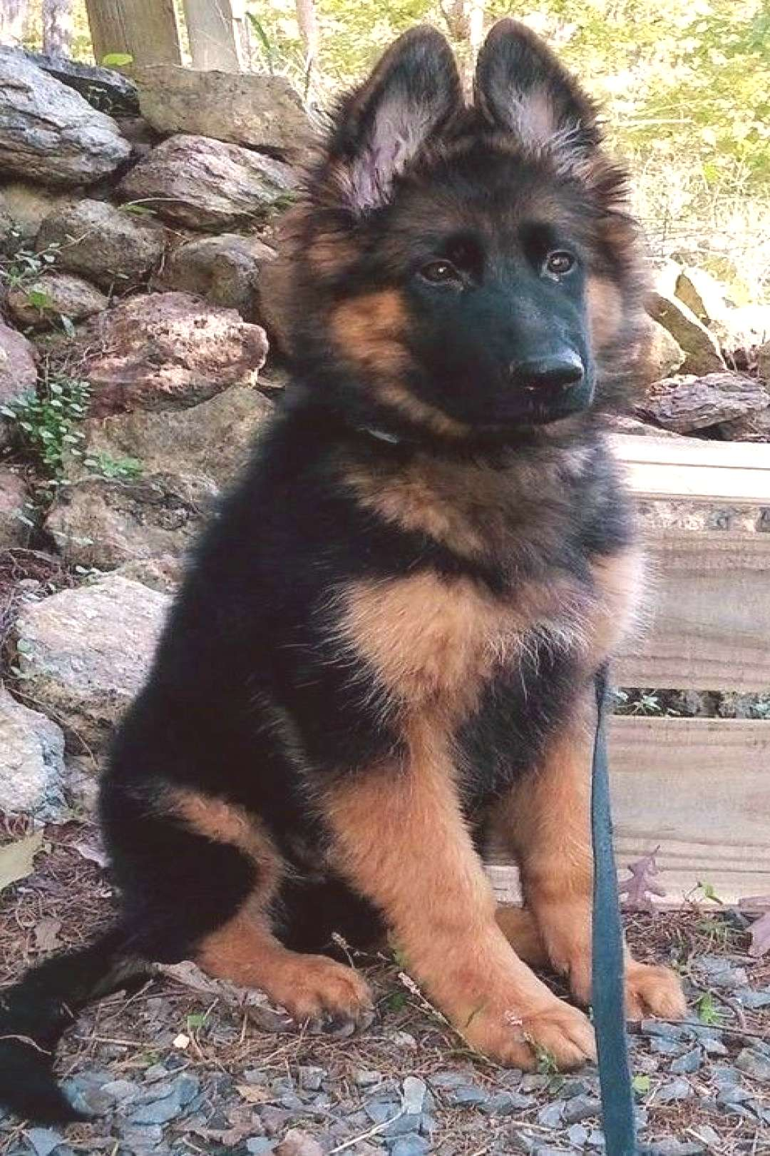 The traits I enjoy about the devoted German Shepherd Pup